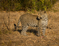 Leopard in morning sun Royalty Free Stock Photography