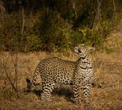 Leopard in morning sun Royalty Free Stock Photos