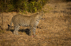 Leopard in morning sun Stock Images