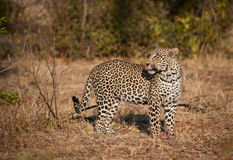 Leopard in morning sun Royalty Free Stock Images