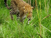 Leopard is the most beautiful cat in the bush stock photo