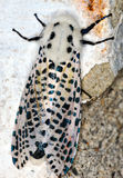 Leopard Moth Royalty Free Stock Photos