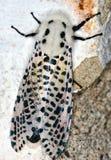 Leopard Moth. Climbing a concrete wall royalty free stock photos