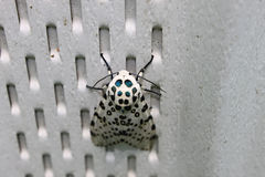 Leopard Moth Royalty Free Stock Image