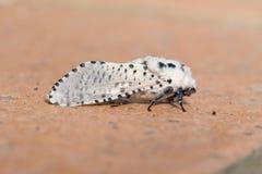 Leopard moth on tile. Zeuzera pyrna. Stock Image