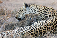 Leopard mother cares for her cub in gathering darkness Royalty Free Stock Photos
