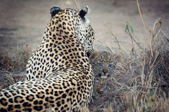 Leopard mother cares for her cub in gathering darkness Royalty Free Stock Images