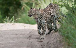 Leopard mother and cub. Wild leopard (panthera pardus) mother and cub coming into a clearing royalty free stock image