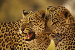 Leopard Mother and Cub. Aged 6-8 months old. Taken on Chiefs Island Okavango Delta Botswana Stock Image