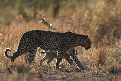 Leopard mother and cub Stock Photos