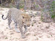 Leopard on the Move stock image