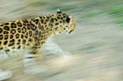 Leopard on the move. A Leopard moves through its territory Stock Image