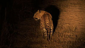 Leopard nachts stock video footage