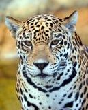 Leopard-Nahaufnahme Stockbild
