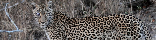 Leopard named Safari Royalty Free Stock Photography