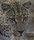 Leopard in Namibia Royalty Free Stock Images