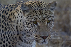 Leopard in Namibia Royalty Free Stock Image