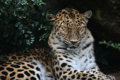 Leopard napping. An African leopard naps in the shade Stock Photos