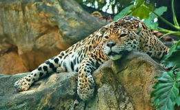 Leopard Napping on A Rock Stock Images