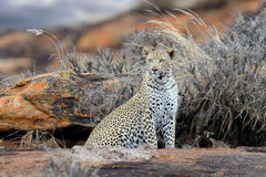 Leopard in National park of Kenya, Africa Stock Images