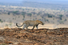 Leopard in National park of Kenya Stock Image