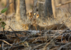 Leopard in Nationalpark Pench Lizenzfreie Stockfotos
