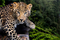 Leopard in nature. Close up young leopard in nature royalty free stock image