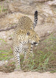 Leopard in the nature reserve Stock Image