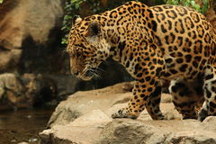 Leopard next to river. Leopard going to drink from river Stock Photos