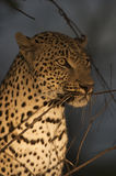 Leopard at night. Amoungst branches Royalty Free Stock Photos