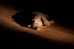 Leopard at night Stock Photography