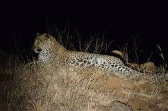 Leopard at night. South Africa savannah Royalty Free Stock Photography