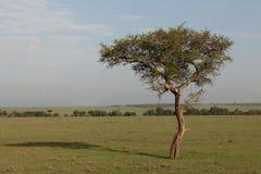 Leopard och dess byte i ett träd royaltyfria bilder