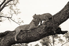 Leopard och gröngöling Arkivbild
