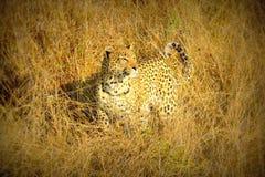 Female leopard walks through the Savannah chasing for her pray in Pom Pom Island private game reserve, Okavango delta, Botswana Royalty Free Stock Images
