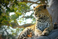 Lonely female leopard waits quiet over a hill looking for her pray in Pom-Pom Island private game reserve, Okavango delta. Botswana, Africa royalty free stock image