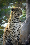Lonely female leopard waits quiet over a hill looking for her pray in Pom-Pom Island private game reserve, Okavango delta Royalty Free Stock Photos
