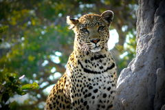 Lonely female leopard waits quiet over a hill looking for her pray in Pom-Pom Island private game reserve, Okavango delta. Botswana, Africa stock photo