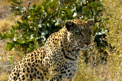 Lonely female leopard waits quiet over a hill looking for her pray in Pom-Pom Island private game reserve, Okavango delta. Adventure, africa, african, animal Royalty Free Stock Photos