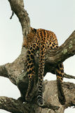 Leopard in an Old Tree Stock Photos