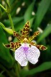 Leopard-Orchidee Stockbild