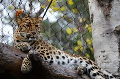 Leopard. A leopard in the outdoors royalty free stock photo