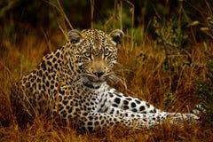 Leopard på ögonnivån Arkivfoto