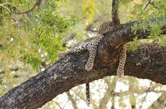 Leopard på en lem Arkivfoton