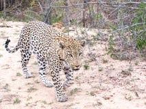 Leopard på flyttningen Fotografering för Bildbyråer