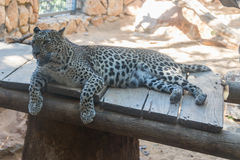 Leopard på Haifa Zoo Royaltyfria Bilder