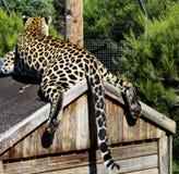 Leopard på hans hus Fotografering för Bildbyråer