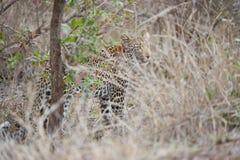 Leopard på jakten arkivbild