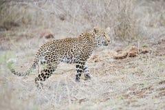 Leopard på jakten i det öppet royaltyfri bild