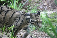 Leopard på kringstrykandet arkivbild